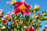 Main_thumb_frey_s_dahlias_349