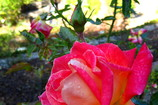 Main_thumb_berkeley_rose1