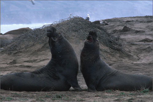 Full_elephant_seals