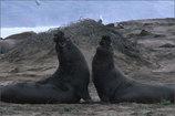 Main_thumb_elephant_seals